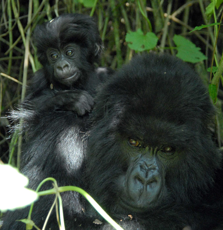 Umurage - der österreichische Gorilla